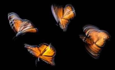 four butterflies representing a family of four, of which an INFJ personality is a part of