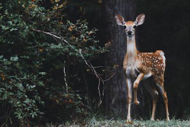 a deer represents an introvert's spirit animal