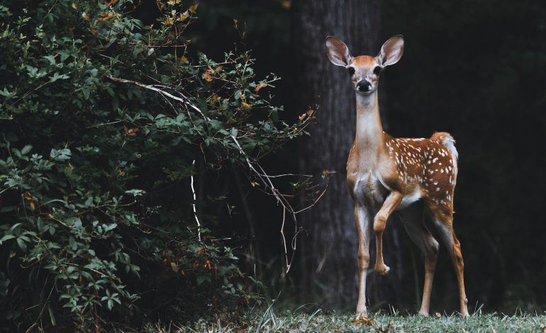 a deer represents an introvert's spirit animal